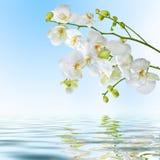 Flores blancas hermosas de la orquídea reflejadas en agua Imagen de archivo