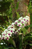 Flores blancas hermosas de Ochid Imagen de archivo