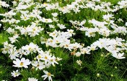 Flores blancas hermosas del cosmos en jardín Foto de archivo libre de regalías