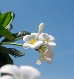 Flores del Frangipani. Imagen de archivo libre de regalías