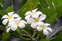 Flores blancas hermosas del plumeria Foto de archivo