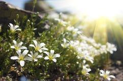 Flores blancas hermosas en las montañas Foto de archivo