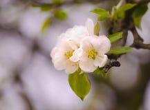 Flores blancas hermosas en primavera La primera flor floreció en el manzano Fotos de archivo