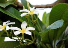 Flores blancas hermosas y hoja verde grande Fotos de archivo