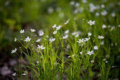 Flores blancas, hierba verde Fotografía de archivo