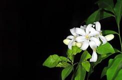 Flores blancas Jessamine Isolated anaranjada en fondo negro con Imagen de archivo libre de regalías