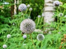 Flores blancas múltiples del allium polinizadas por las abejas en el prado Fotografía de archivo libre de regalías