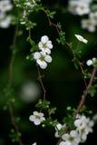 """Flores blancas minúsculas en 花 del  del å° del ² del ‰ del è del ½ del ç™ del """"del æ˜¥å¤©çš de la primavera Imagen de archivo"""