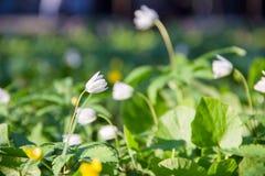 Flores blancas minúsculas hermosas en la primavera en un prado verde foto de archivo libre de regalías