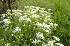 Flores blancas mucho pequeñas Fotografía de archivo libre de regalías