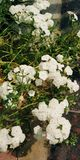 Flores blancas imagen de archivo