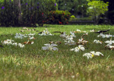 Flores blancas que cayeron en el piso Foto de archivo