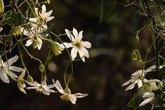 Flores blancas retroiluminadas de la clemátide Fotos de archivo libres de regalías