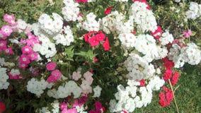 Flores blancas, rojas y rosadas que sorprenden la foto de la naturaleza Foto de archivo libre de regalías