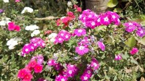 Flores blancas, rojas y rosadas que sorprenden la foto de la naturaleza Fotos de archivo libres de regalías