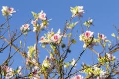 Flores blancas rosadas de la primavera Imagen de archivo