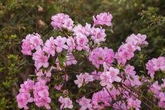 Flores blancas rosadas de la primavera Fotografía de archivo libre de regalías