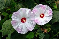 Flores blancas rosadas del hibisco Imagen de archivo