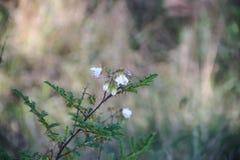 Flores blancas salvajes con el fondo defocused Fotografía de archivo