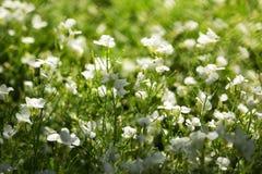 Flores blancas soleadas brillantes Imágenes de archivo libres de regalías