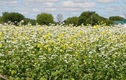 Flores blancas y amarillas Foto de archivo