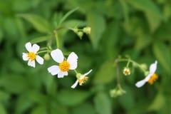 Flores blancas y amarillas Imagen de archivo libre de regalías