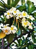 Flores blancas y amarillas del frangipani con las hojas Foto de archivo