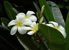 Flores blancas y amarillas del frangipani con las hojas Fotos de archivo libres de regalías