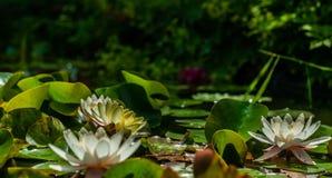 Flores blancas y amarillas del lirio del nymphaea o de agua y hojas verdes en el agua del primer de la charca del jardín foto de archivo libre de regalías