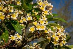 Flores blancas y amarillas en un árbol Fotos de archivo
