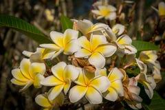 Flores blancas y amarillas en un árbol Foto de archivo