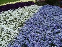 Flores blancas y azules en el en del  del ri KÅ del  de ÅŒdÅ Imagen de archivo libre de regalías