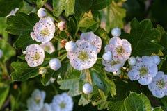 Flores blancas y brotes en la rama viva del espino Fotografía de archivo