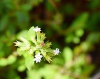 Flores blancas y hojas de la planta de Rebaudiana del Stevia - edulcorante artificial imagenes de archivo