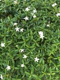 Flores blancas y hojas del verde Fotos de archivo