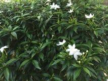 Flores blancas y hojas del verde Imagen de archivo libre de regalías