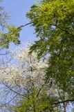 Flores blancas y hojas en el bosque de la primavera, Stuttgart del borrachín Foto de archivo libre de regalías