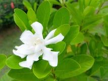 Flores blancas y hojas verdes hermosas foto de archivo