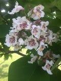 Flores blancas y púrpuras foto de archivo
