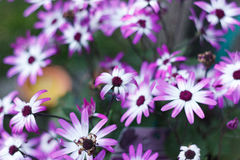 Flores blancas y púrpuras Imagen de archivo libre de regalías