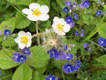 Flores blancas y púrpuras en el prado Foto de archivo libre de regalías