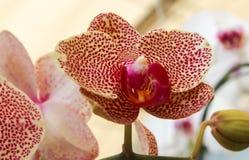 Flores blancas y púrpuras grandes de la orquídea Imagen de archivo libre de regalías