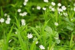 Flores blancas y prospectos verdes fotos de archivo libres de regalías