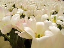 Flores blancas y puras Foto de archivo libre de regalías
