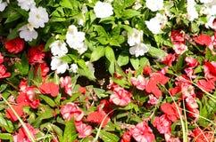 Flores blancas y rojas Fotos de archivo libres de regalías