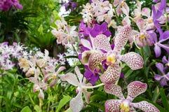 Flores blancas y rojas punteadas coloridas de la orquídea Imagen de archivo