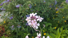 Flores blancas y rosadas Foto de archivo libre de regalías