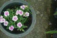 Flores blancas y rosadas Fotografía de archivo libre de regalías