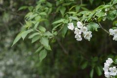 Flores blancas y rosadas de un manzano Fotos de archivo libres de regalías