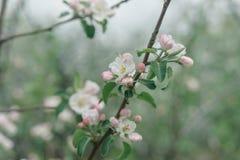 Flores blancas y rosadas de un manzano Foto de archivo